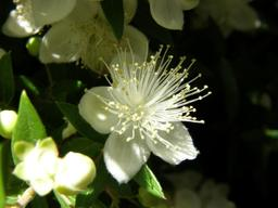 White flower aradecki.jpg