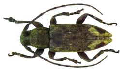 Sybra preapicemaculata Breuning, 1939 male (5519257651).jpg